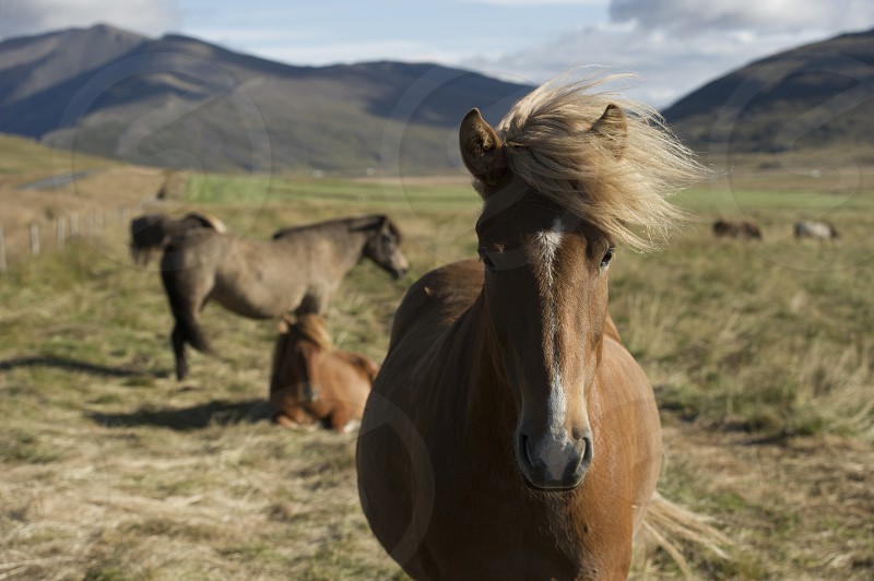 Closeup of brown Icelandic horse in a field with mountains in the background photo