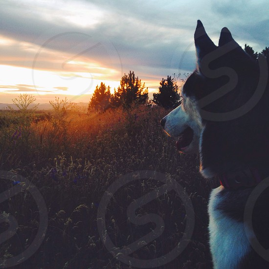 black and white siberian husky on green grass during sunset photo