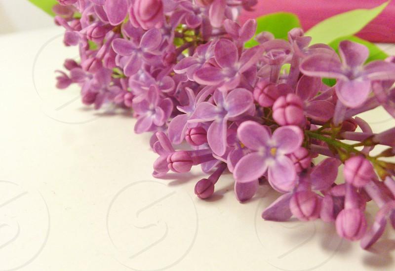 purple periwinkle flower photo