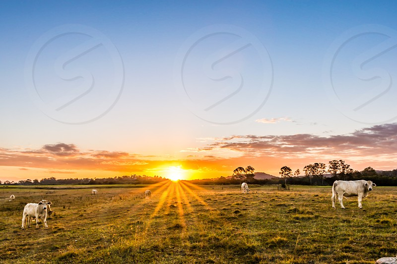 white cows on green grass field during sunrise photo