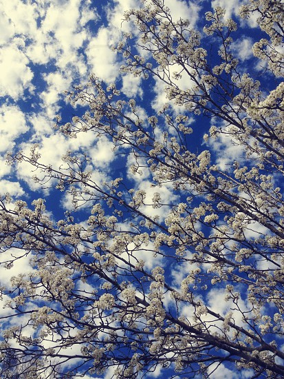 Branches and flowers reaching out to a cloudy sky.  photo