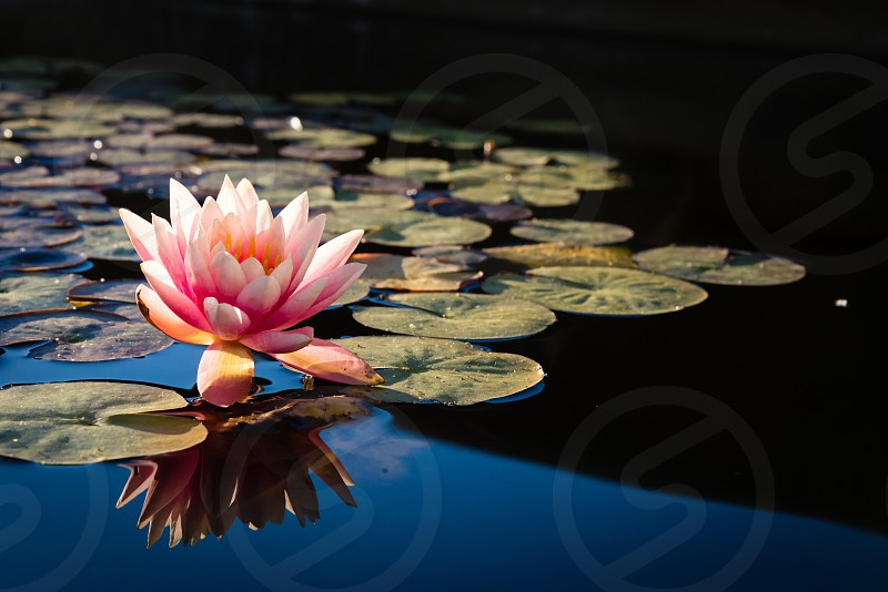 Lotus flower and lilypads photo
