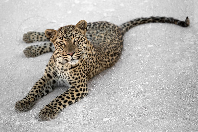 leopard lying on sand photo