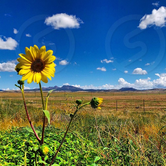 A lonely sunflower along Route 66 in America. photo