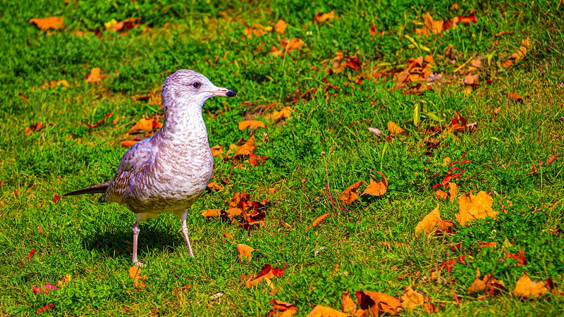 A white- and grey-feathered seagull stands upright in the grass among fallen autumn leaves. photo