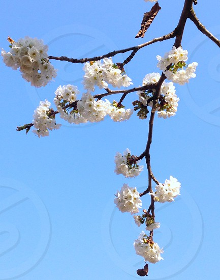 Tree spring flowers colours minimal sky blue cherry tree photo