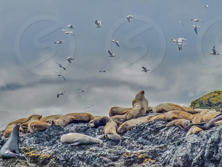 Seals resting in the midday sun photo