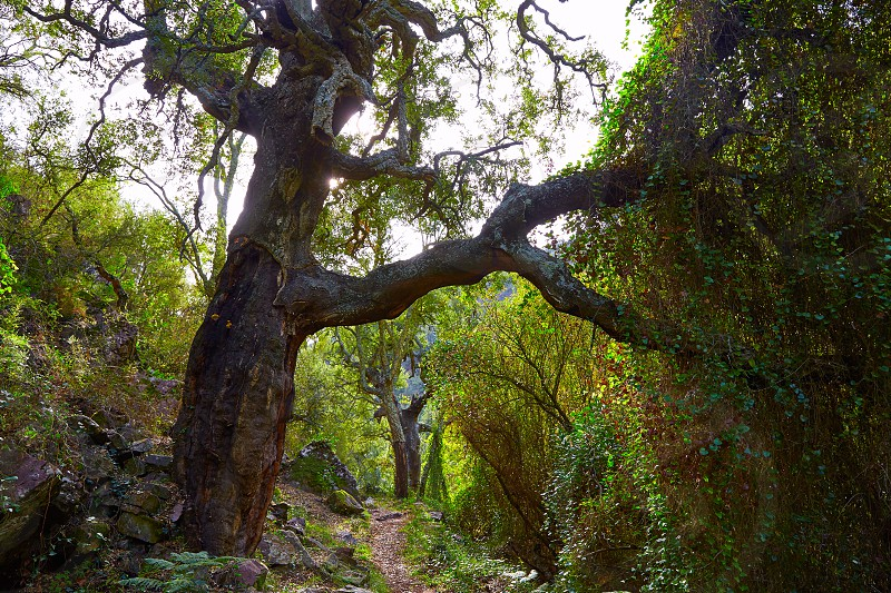Castellon alcornocal in Sierra Espadan cork tree forest in Valencian Community of Spain photo