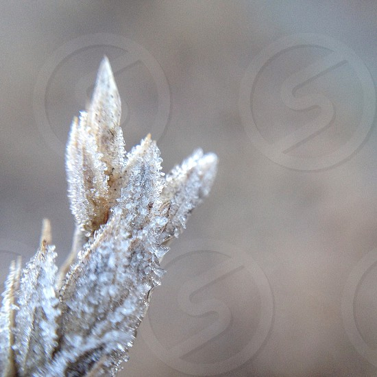 macro shot of frost on decayed grass seed pods photo