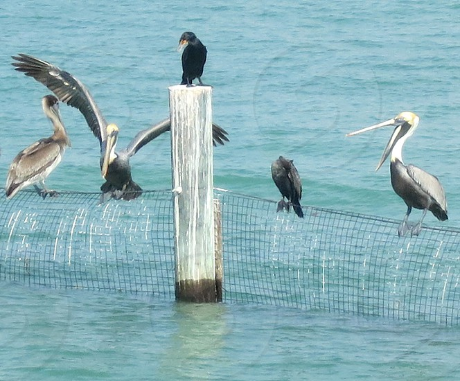 Pelicans Captiva Island Florida photo