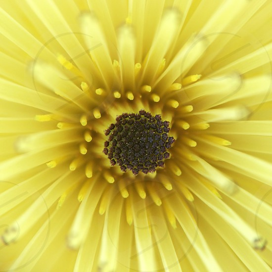 Macro of a yellow Asteraceae flower with multiple petals. Plant nature spring bloom blossom close up floral. photo