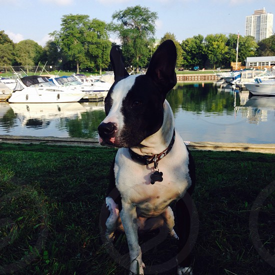 Pit bull handsome summer boats nature photo