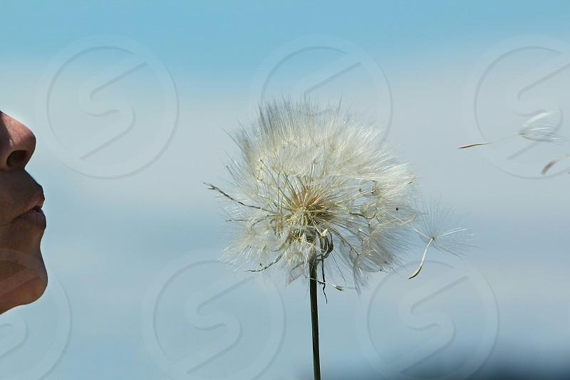 giant dandelion salsify blowing wish wishing photo