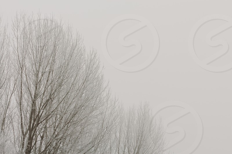 Top of the trees in cold foggy winter photo