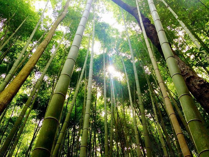 bamboo tree photo