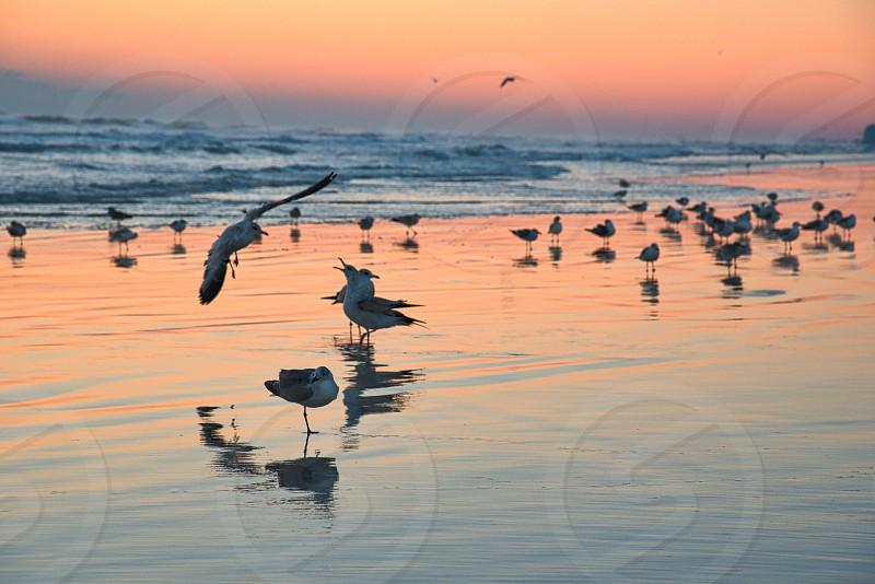 Gulls at a Daytona Beach sunrise  photo