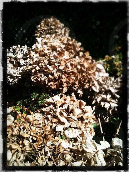 Nature Brown/cream cluster of flowers  photo
