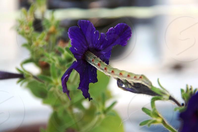 Caterpillar invading into a petunia flower photo