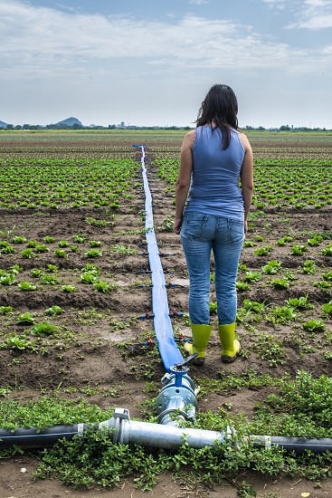 Planted agriculture land and pipe for watering. Woman in front of iceberg lettuce plants. photo