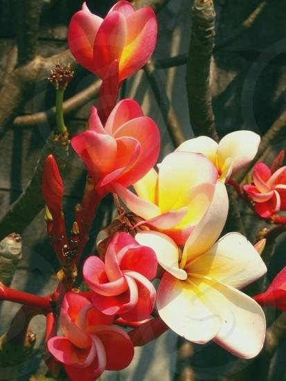 Plumeria in the garden photo