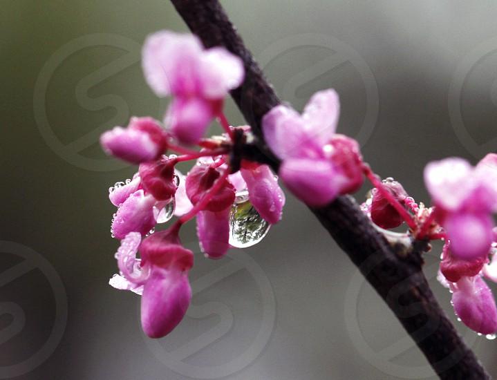 rain on pink flower spring bloom wet flower waterdrops raindrops on flower photo