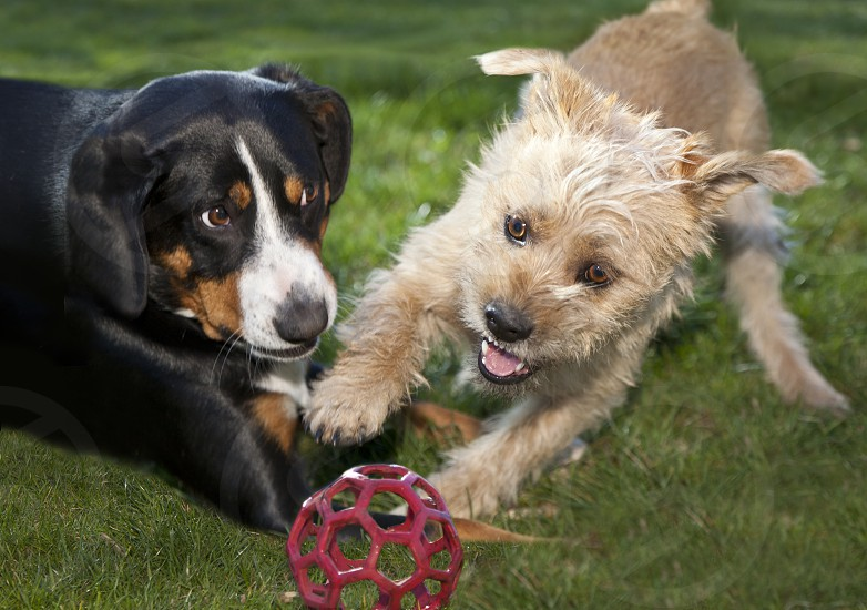 2 dogs playing on ground photo