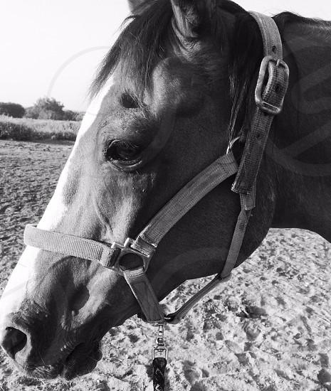 Beautiful black and white headshot of a Morgan-Quarter Horse-Arabian in his halter photo