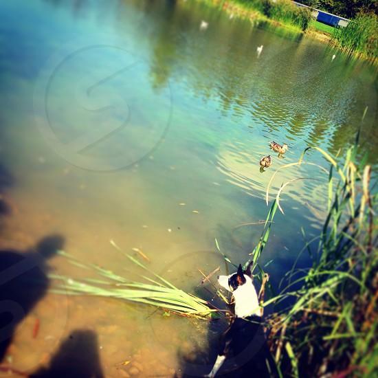 Pond ducks Collie dog park life Milton Keynes Campbell Park photo