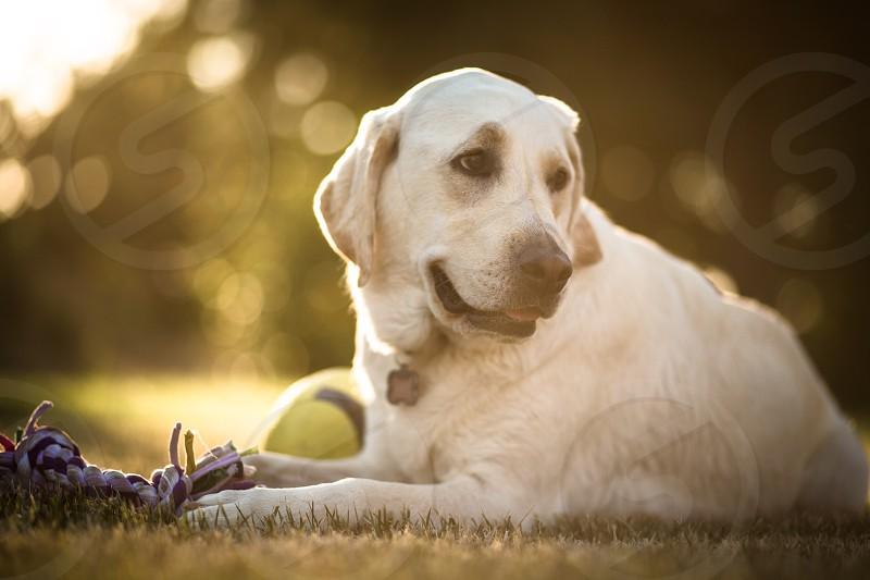 Labrador retriever Lab Dog Puppy Doggy Dogs Labrador Yellow Lab photo