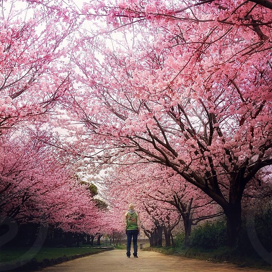 pink flowers on trees photo