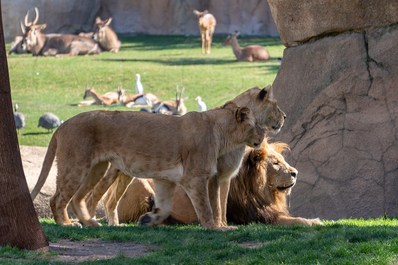 VALENCIA SPAIN - FEBRUARY 26 : African Lion at the Bioparc in Valencia Spain on February 26 2019 photo