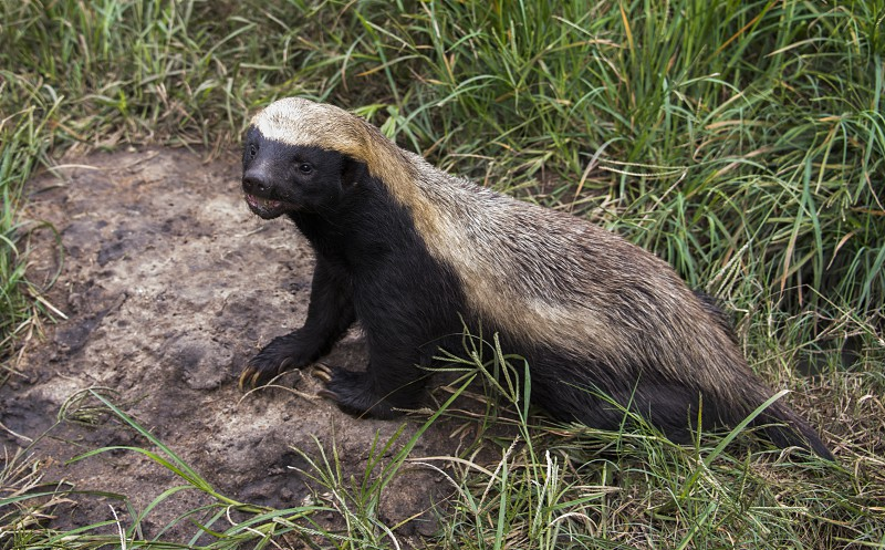 african honey badger or Mellivora capensis in Moholoholo Animal Rehabilitation Centre photo