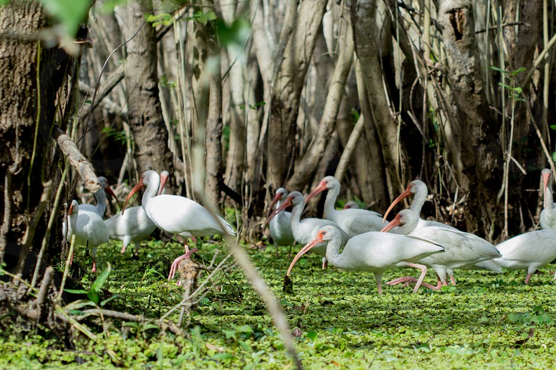 Flock of Ibis wading for food swamp white Ibises birds fowl nature fresh water outdoors horizontal no people green plants curved bills natural  photo