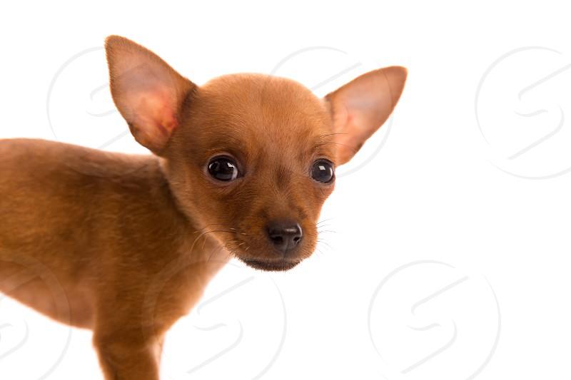 Chihuahua puppy pet dog doggy portrait on white background photo