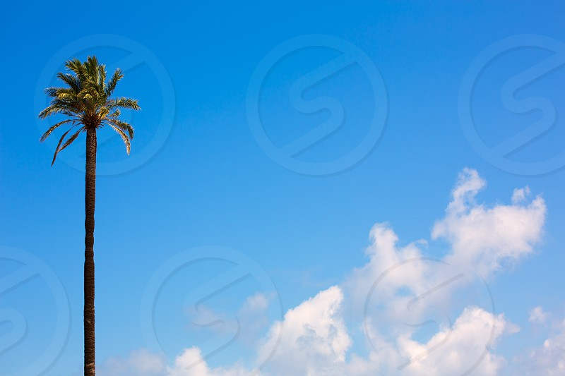 Lonely palm tree Washingtonia California style on blue sky and clouds photo