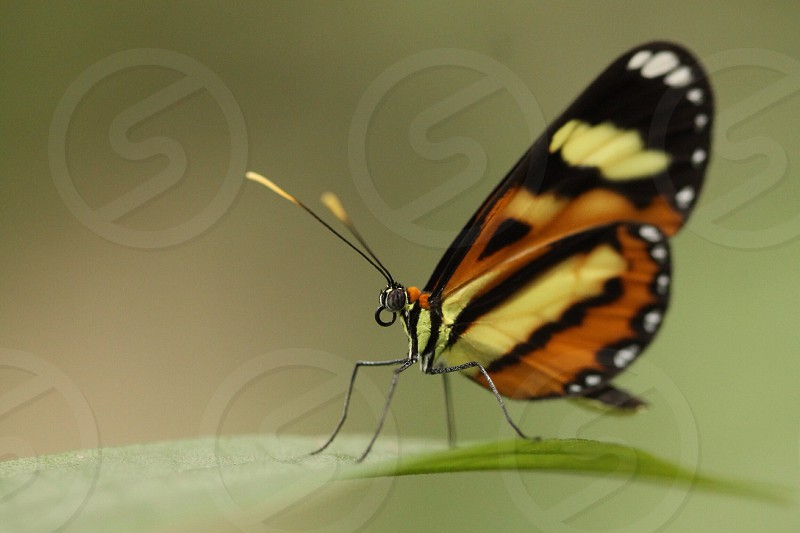 orange black and orange postman butterfly photo