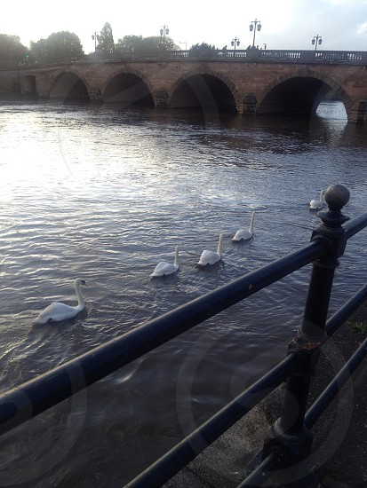 swans on a river near stone arched bridge photo