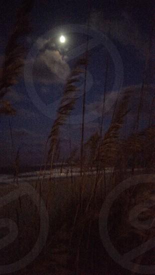 sea oats in the moon light photo