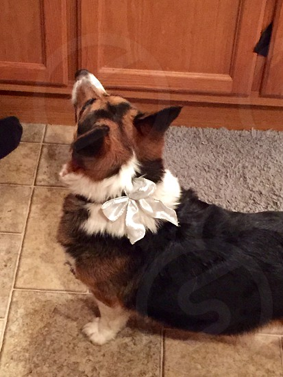 My pup with his bow photo