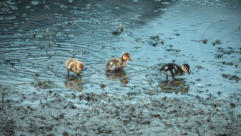 3 ducks in a blue pond photo