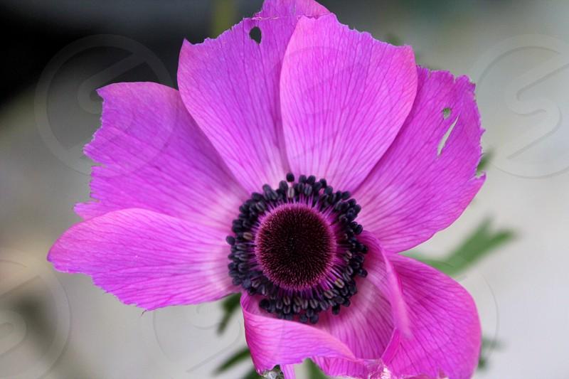 Damaged yet beautifulpinkflowerblackpodseedspetalsnaturenaturalruralcountryside photo