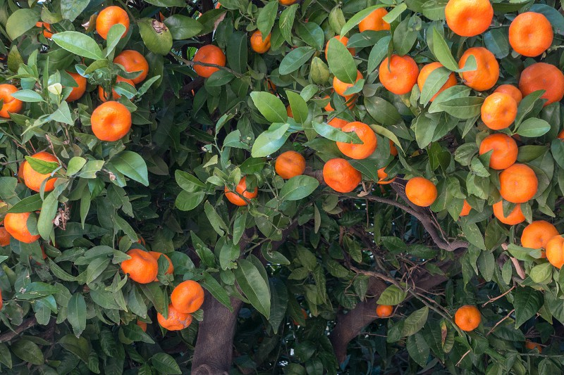 Orange Tree in the Town Hall Square of Valencia Spain photo