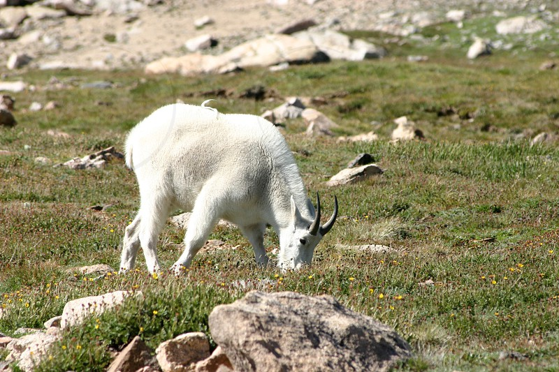 Male ram mountain goat feeding in a grassy meadon on top of a mountain high in the Rocky Mountain Range of Colorado photo