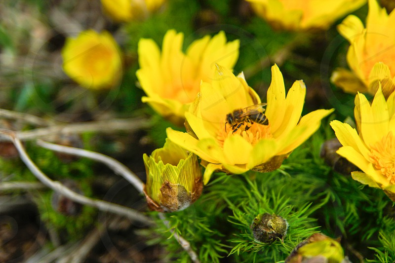 brown honeybee on yellow flower photo