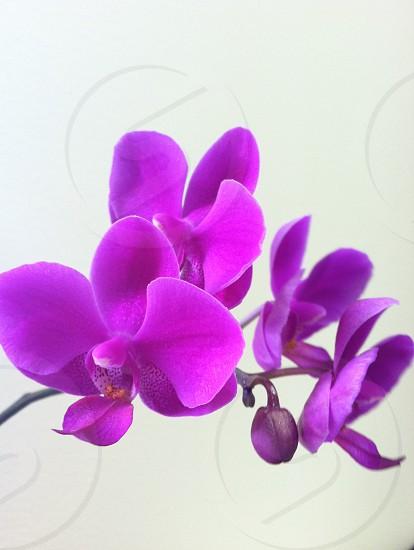 Fuchsia Phalaenopsis Orchid photo