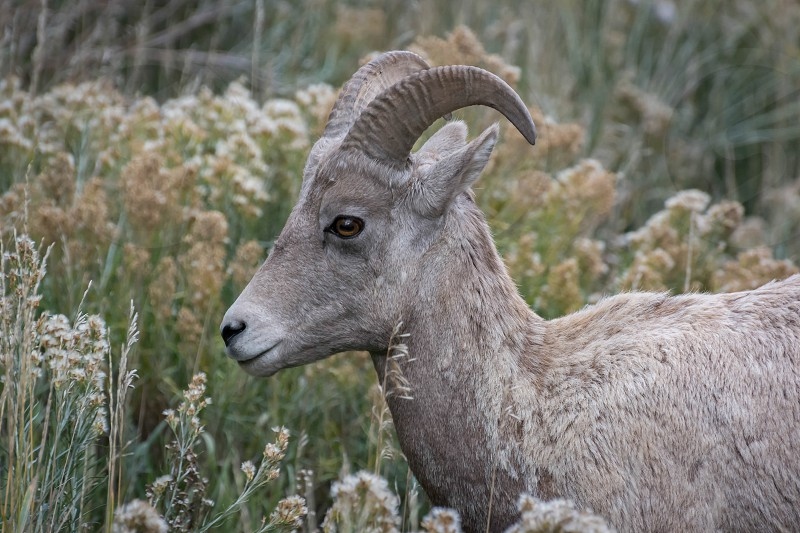 Bighorn Sheep (Ovis canadensis) photo