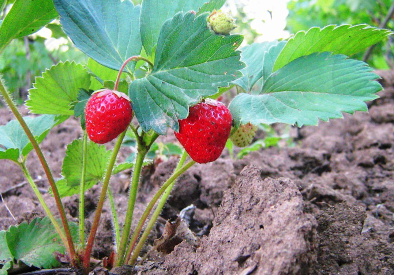 red strawberry plant photo
