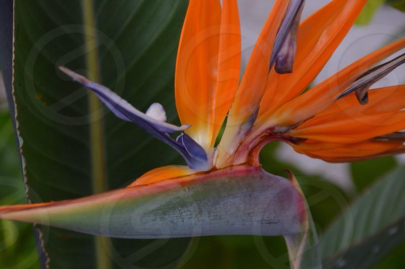 Bird if paradise photo