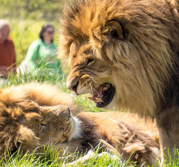 Two male lions having a close up disagreement photo