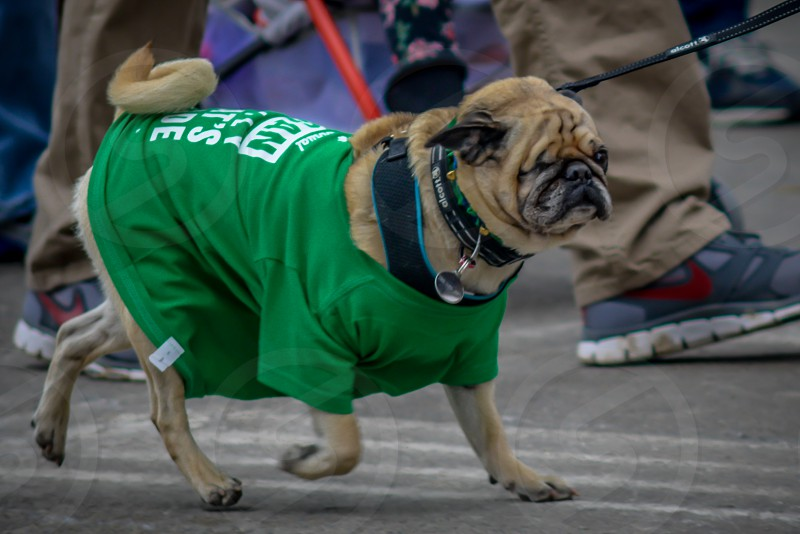 A pug dressed up for the St Patrick's Day parade in Cleveland Ohio. photo